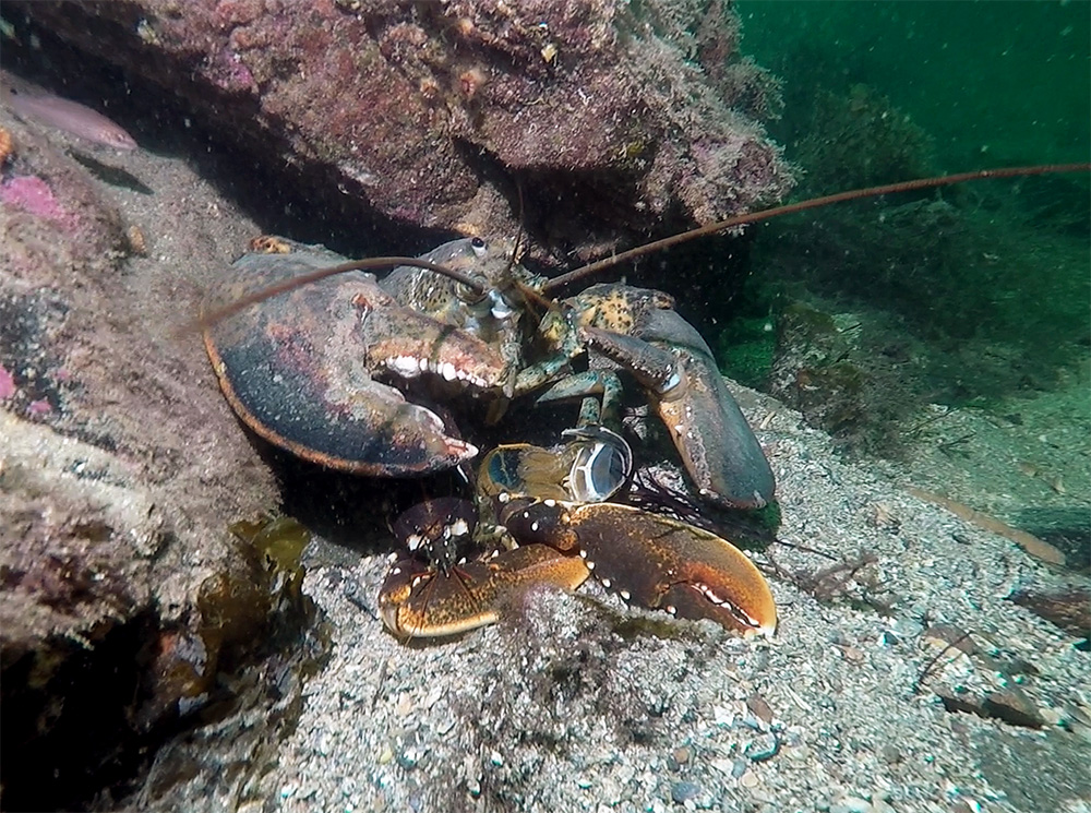 American_lobster_eating_european_Gert-Oxby_copyright-_picture20161028